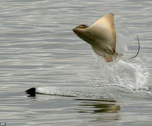 (图文)罕见魔鬼鱼逃避深海杀手跃出水面